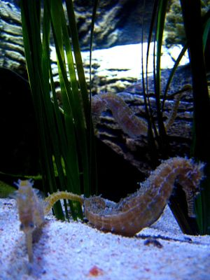 Seahorses. by love-andcoffee