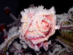 Frosted rose by Kaliceos