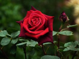 Red Rose II by LadyxBoleyn