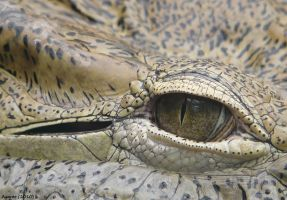 Crocodile's eye by Agaver