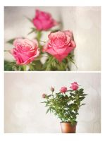 roses in a pot by Anti-Pati-ya