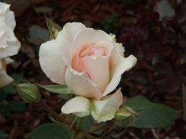 Rose Stock 9 by AilinStock