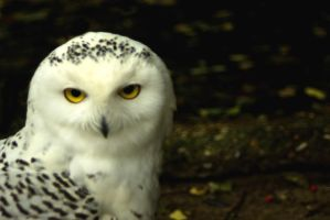 Young snow owl 1 by steppelandstock