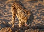 Cheetah Sundowner by LinRuPhotography