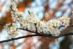 Cherry Plum Blossom no. 1 by SweepingShadows