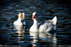 geese by Angel2008