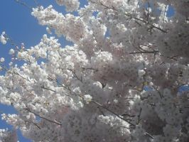 Cotton Candy Cherry Tree by Bre19