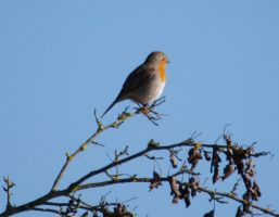 Robin on a branch by Noemy009