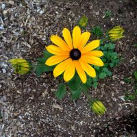 Black-Eyed Susan by somethingzenzen