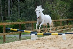 Arab showjump front on no tack by Chunga-Stock