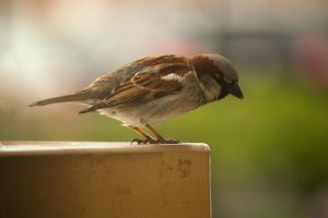 Male House Sparrow Close Up 2 by toshema