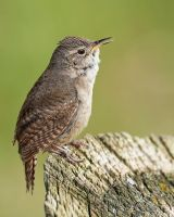 House Wren Singing by JestePhotography