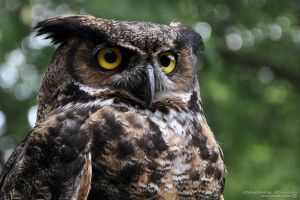 Great Horned Owl by Chelsey-Dunn