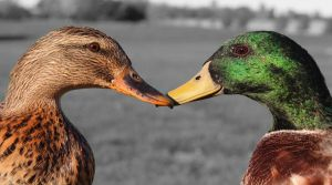 Ducky Love by dalmation1080
