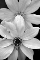 Flowers - black and white by Kuteka