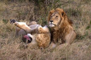 TRACKING AFRICAN LIONS 3 by lenslady