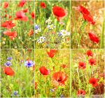 Poppies - PHOTO STOCK PACK by AuroraWienhold