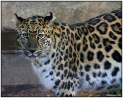 My Amur by SilkenWinds