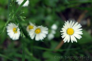 hoping daisy by l-CoRaLiNe-l