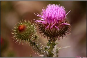 Summer Thistle by Clu-art