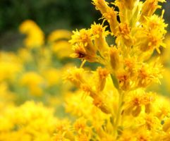 Golden Rod by ToryHartley