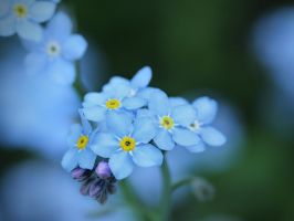 Forget-Me-Not by KMourzenko