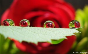 A red rose reflection by lindahabiba