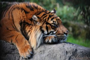 Nap of the Sumatran Tiger by Momotte2