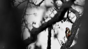 Great Spotted Woodpecker by KrisSimon