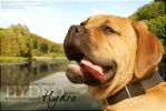 Bullmastiff by Fealwen