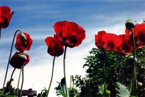 Oriental Paper Poppies by inspiredcreativity