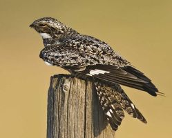 Nighthawk? Could this be our mystery bird? by darkflower220
