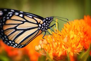 Monarch and Butterfly Weed 3 by S-H-Photography