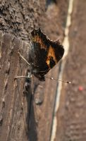 Butterfly on a fence by Wadyface