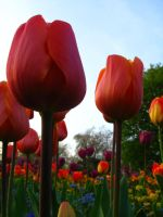 Tulips by boonDY