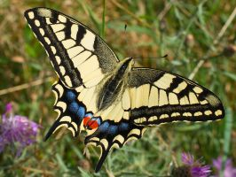 Papilio machaon (1) by starykocur