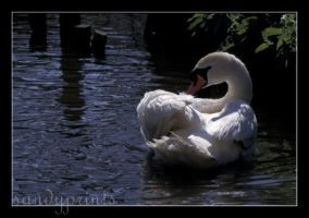 swan 2 by sandyprints