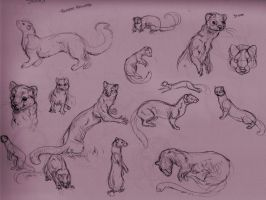 Stoat Studies by Kiche12