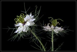 LOVE IN A MIST 2 by THOM-B-FOTO