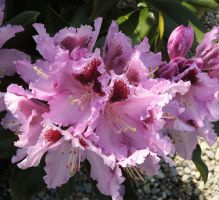 And another rhodie by piglet365
