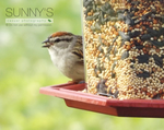 ''I has a seed!'' - Chipping Sparrow by CrypticGrin