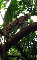 Margay cat by Stinetroll