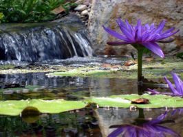 lily pond 2 by stockofshutterbugmom