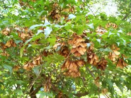 Maple Tree Seeds 3 by DerpyDash64
