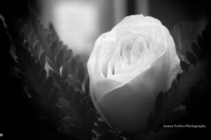 Yellow Black and White Rose by JForbes1701