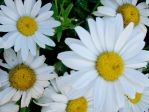 White daisy by CBequette