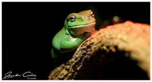 Green Tree Frog on a Log by jaydoncabe