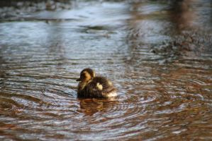 Duckling11 by eillahwolf