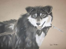 Sled dog -charcoal- by jmillart