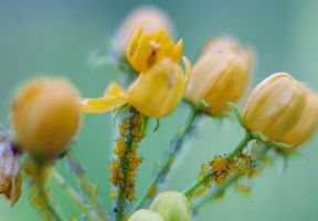 Yellow flowers, yellow aphids by sankyaku